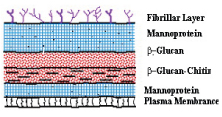Yeast Cell Wall Structure ::Specialty Biotech Co...